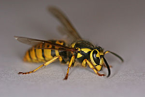 English: a yellow jacket wasp