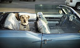 Yellow labrador retriever sitting in the back of a car