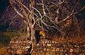 Young Tiger (Panthera tigris) in the ruins (14749615715).jpg