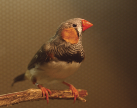 Young zebra finch.png