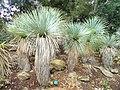 Yucca rostrata - Jardin d'oiseaux tropicaux - DSC04871.JPG