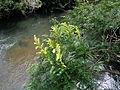 Yuquerí Guazú del bañado Machaerium aculeatum Leguminosa fabaceae.JPG