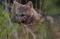 ZORRO DE MONTE - FOX OF MOUNT - Cerdocyon thous 1.png