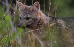 240px zorro de monte   fox of mount   cerdocyon thous 1