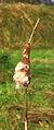 Zaadpluizen grote lisdodde (Typha latifolia). Locatie, De Famberhorst 04.JPG