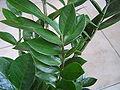 Zamioculcas zamiifolia 2.jpg