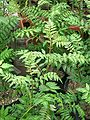 Zanthoxylum piperitum leaves ja01.jpg