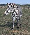 Zebra (2916900613).jpg