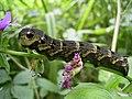Zmrocznik gładysz Deilephila elpenor.jpg