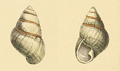 Zoological Illustrations Achatinella livida.jpg