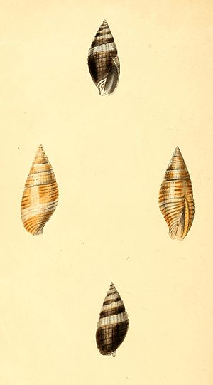 Zoological Illustrations Volume I Plate 66.jpg
