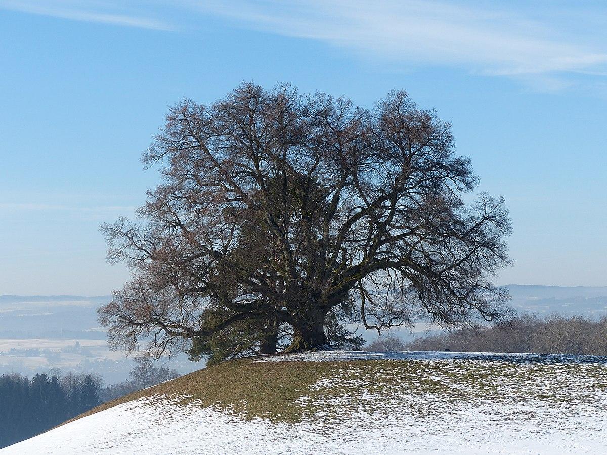 Zundelbacher Linde im Winter.jpg