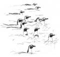 Zwartvoetpinguïn Spheniscus demersus Jos Zwarts.tif