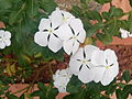 """White Flower of vincarosea"".jpg"