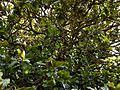 'Goliath' Magnolia grandiflora at Goodnestone Park Kent England.jpg