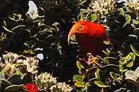 'I'iwi at Hosmer Grove, Haleakala, Maui, Hawaii 3.jpg