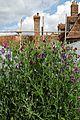 'Lathyrus odoratus' red and violet sweet pea in Walled Garden of Goodnestone Park Kent England.jpg