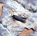 (0904) Spuleria flavicaput (34469713322).jpg