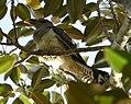 (1)Channel-billed cuckoo-1.jpg