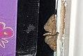 (1862) Double-striped Pug (Gymnoscelis rufifasciata) (3444415956).jpg