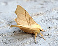 (1915) September Thorn (Ennomos erosaria) (14476766290).jpg