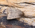 (2299) Mouse Moth (Amphipyra tragopoginis) (20525288089).jpg