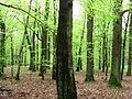 Łagiewniki Forrest in Spring.jpg