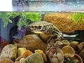 Żółw w akwarium (5).JPG