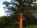 Вековой дуб парка Горка Кристера возле вершины паркового холма.jpg