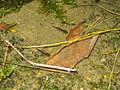 Дождовник - Salamander (1).JPG