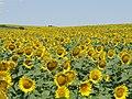 Жълто и синьо - panoramio (10).jpg