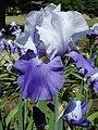 Колекція ірісів в ботанічному саду ТНУ 01.jpg