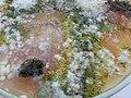 Колонии плесневых грибов на питательной среде.jpg