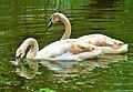 Лебеді в Стрийскому парку.jpg