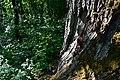 Старий дуб Чистотіл DSC 0830.jpg