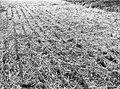 גניגר - משתלת אורן ירושלים בערוגות בת חצי שנה בטיפול של חצי השקאה, הערוגה מכוסה קש בין שורות העצים.-JNF044031.jpeg