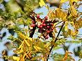 गुंज, औषधी वनस्पती, वीरपुर, नंदुरबार Gunj, Medicinal plant Veerpur, Nandurbar (Abrus precatorius).jpg