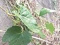 エビヅルの葉と蕾.jpg
