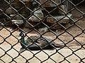 南京红山森林动物园孔雀 - panoramio.jpg