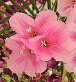 古代稀(晚春錦) Godetia grandiflora (Clarkia amoena) -香港花展 Hong Kong Flower Show- (9173505278).jpg