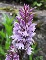 掌裂蘭屬 Dactylorhiza fuchsii -巴黎植物園 Jardin des Plantes, Paris- (9198098235).jpg
