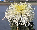 日本管物菊-東海白鳳 Chrysanthemum morifolium Japanese-tubular-series -中山小欖菊花會 Xiaolan Chrysanthemum Show, China- (9227097409).jpg