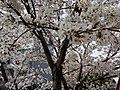 漕宝路七号桥头的樱花树 5.jpg