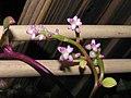 潺菜(落葵) Basella alba -香港北區花鳥蟲魚展 North District Flower Show, Hong Kong- (9229896380).jpg