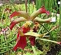 瓶子草屬 Sarracenia x stevensii -比利時國家植物園 Belgium National Botanic Garden- (9204821169).jpg