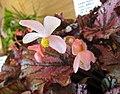 秋海棠屬 Begonia 'Hocking Lambada' -香港公園 Hong Kong Park- (37626743765).jpg