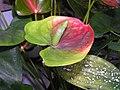 花燭(綠白掌) Anthurium andraeanum -香港公園 Hong Kong Park- (9222669228).jpg
