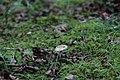 苔とキノコ - panoramio.jpg
