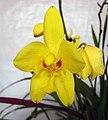 苞舌蘭屬 Spathoglottis kimballiana x gracilis -香港青松觀蘭花展 Tuen Mun, Hong Kong- (14101755861).jpg