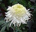 菊花-匙桂型 Chrysanthemum morifolium Inner-floret-spoon-series -上海共青森林公園 Shanghai, China- (9237445649).jpg